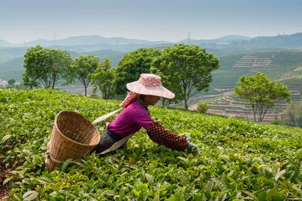 Matcha Tee Bauer bei der Teeernte